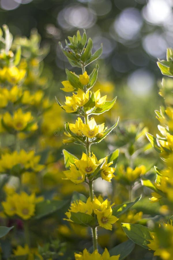 Цветок желтого вербейника в домашнем саде на заходе солнца стоковые изображения