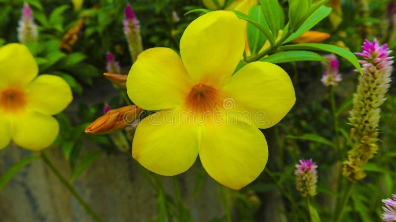 Цветок желтого стекляруса в саде стоковое изображение