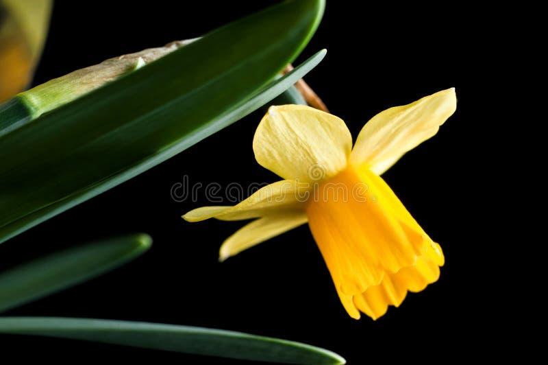 Цветок желтых нарциссов в профиле, закрывающийся на черном фоне, изолируйте стоковые изображения