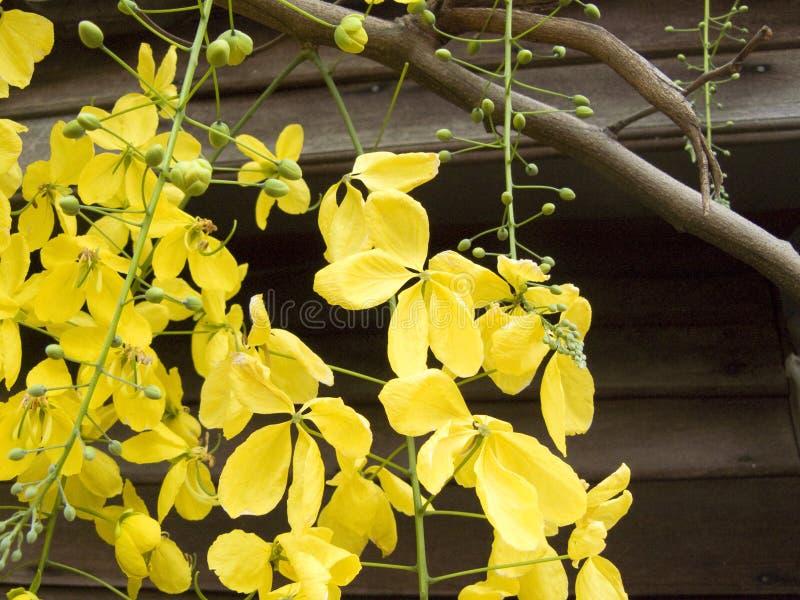 Цветок желтого цвета золотые цветок ливня или фистула кассии стоковые фотографии rf