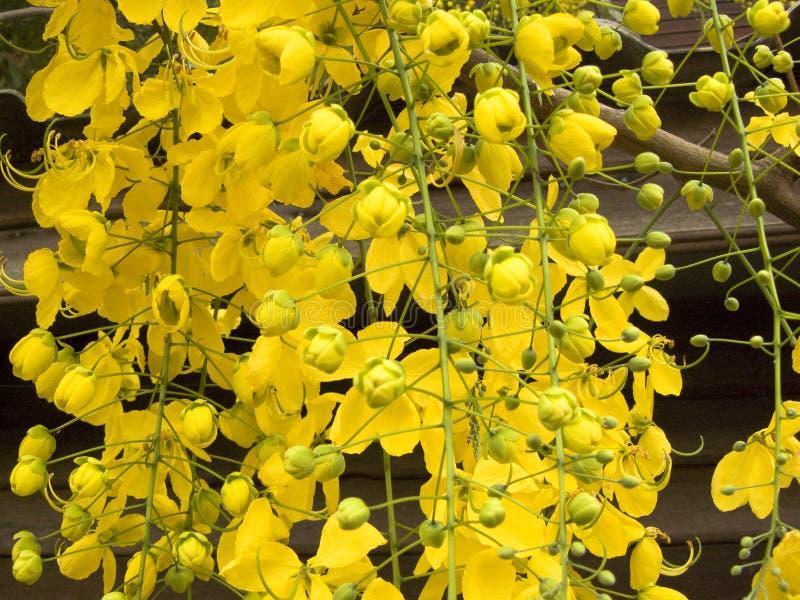 Цветок желтого цвета фистулы кассии стоковые изображения rf