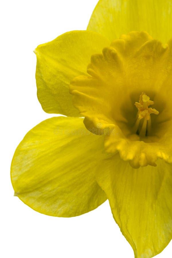 Цветок желтого Daffodil & x28; narcissus& x29; конец-вверх изолированный на белизне стоковое изображение