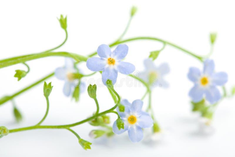 цветок забывает изолировал меня не стоковые фотографии rf