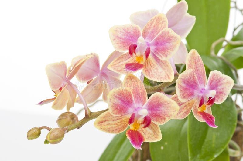 Цветок зацветая орхидеи phalaenopsis стоковые фотографии rf