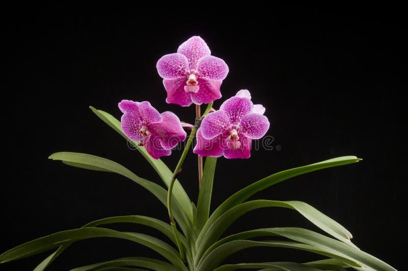 Цветок зацветая орхидеи vanda стоковые фото