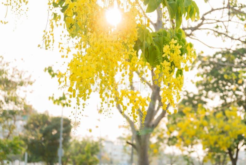 Цветок золотые ливень или фистула кассии в саде стоковые фото