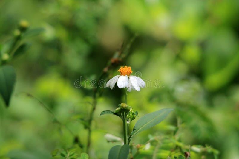 Цветок иглы попрошайки похожий на маргаритк единственный стоковая фотография