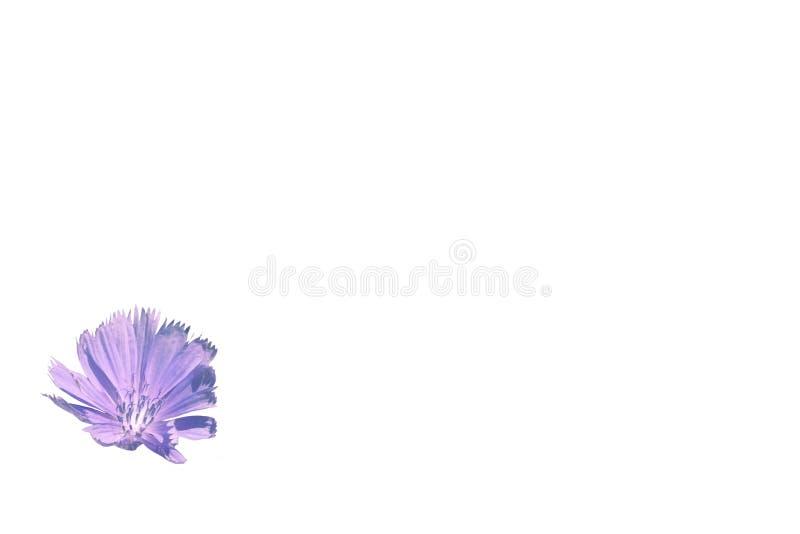 Цветок изолята цвета сирени цикория чувствительного стоковые фото
