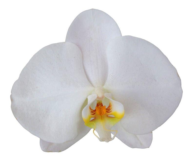 цветок изолировал орхидею стоковое фото