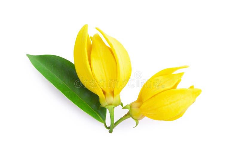 Цветок иланг-иланга взгляд сверху, желтый душистый цветок на задней части белизны стоковые изображения