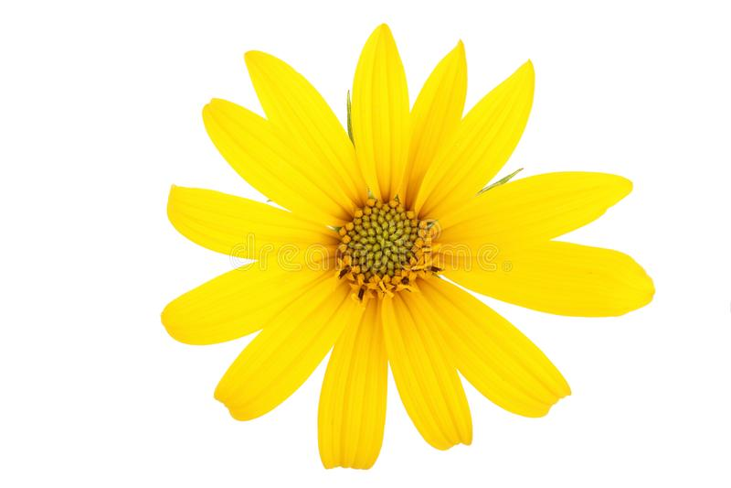 Цветок или topinambur артишока Иерусалима изолированные на белой предпосылке стоковые фотографии rf