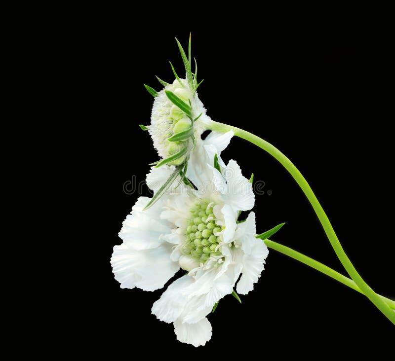 Цветок и бутон белого skabiosa стоковое фото rf