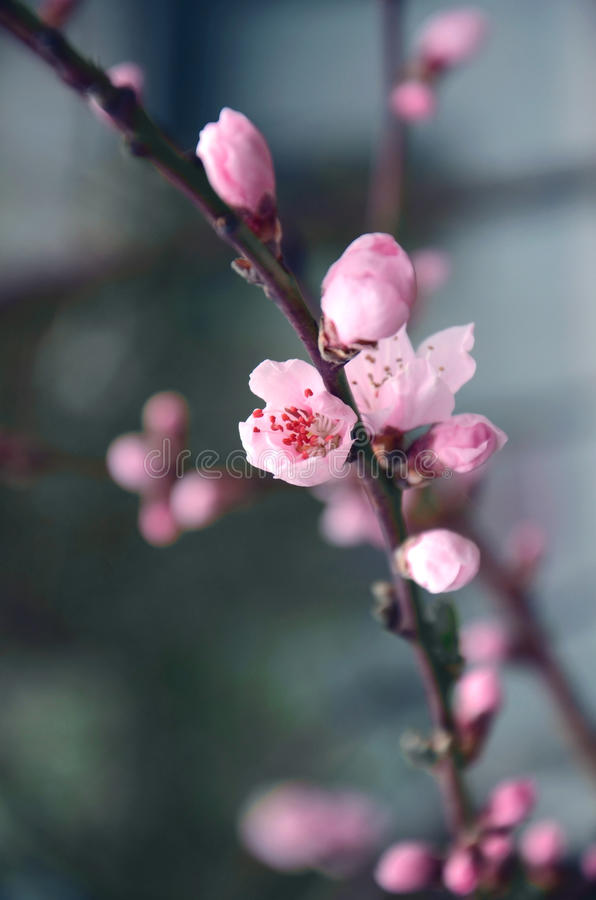 Цветок и бутон на ветви Сакуры стоковая фотография