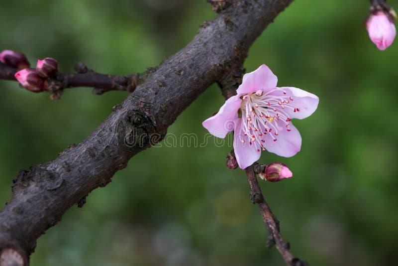 Цветок и ветвь персика стоковая фотография rf