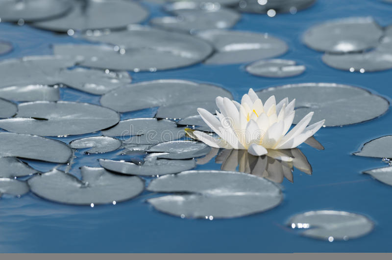 Цветок лилии белой воды на поверхности озера зеркала голубой стоковые фотографии rf