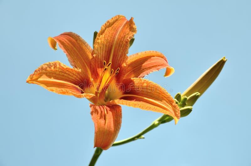 Цветок лилии с бутоном на предпосылке голубого неба в природе стоковое изображение