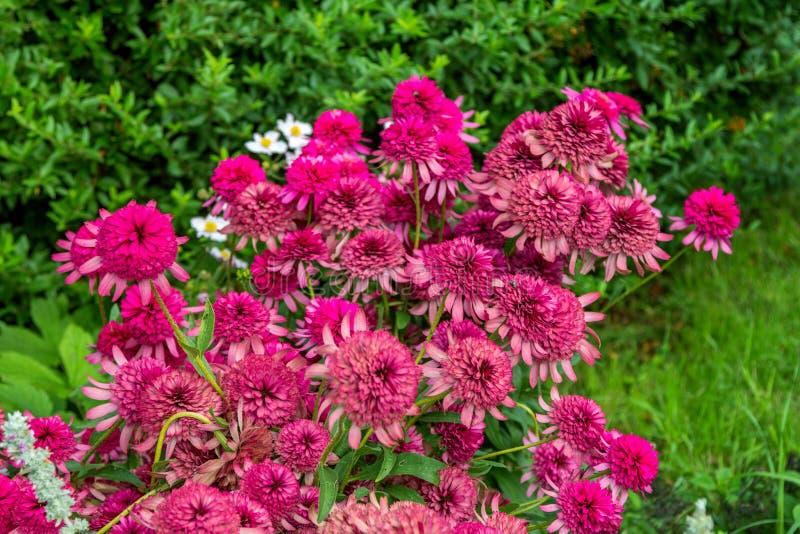 Цветок или coneflower эхинацеи крупного плана зацветая красивые розовые декоративные стоковое фото