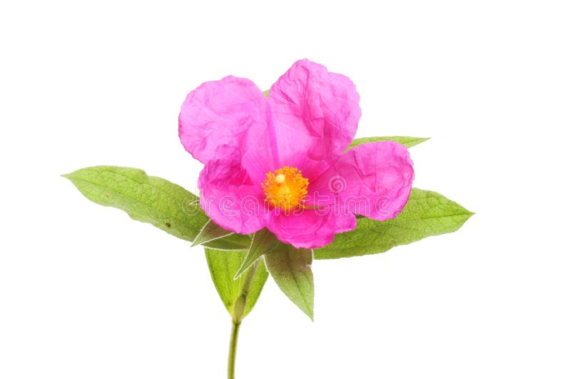 цветок и листва Утес-Розы стоковые изображения