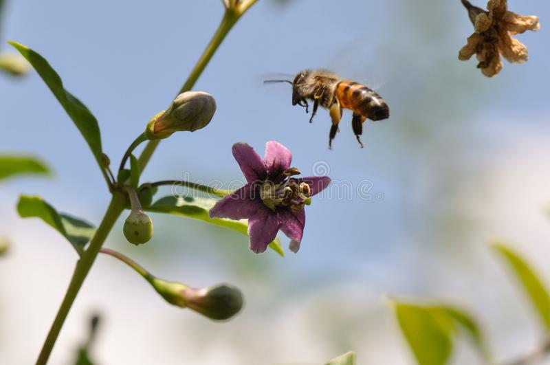 Цветок и пчела Goji стоковое фото