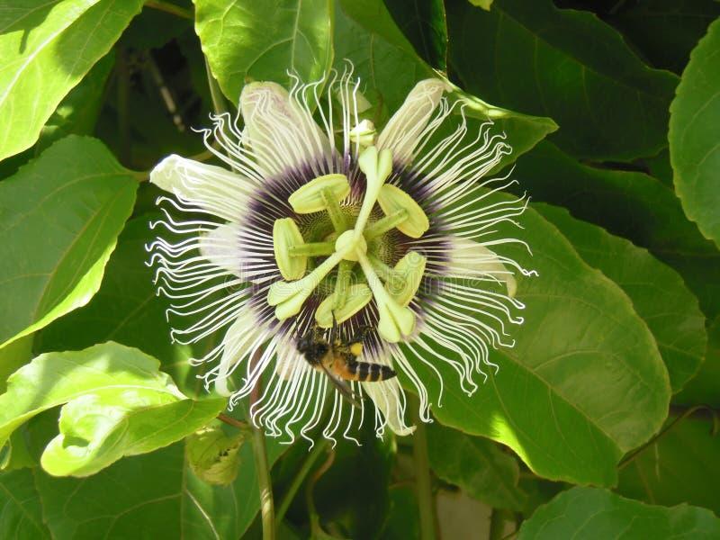 Цветок и пчела маракуйи стоковые фото