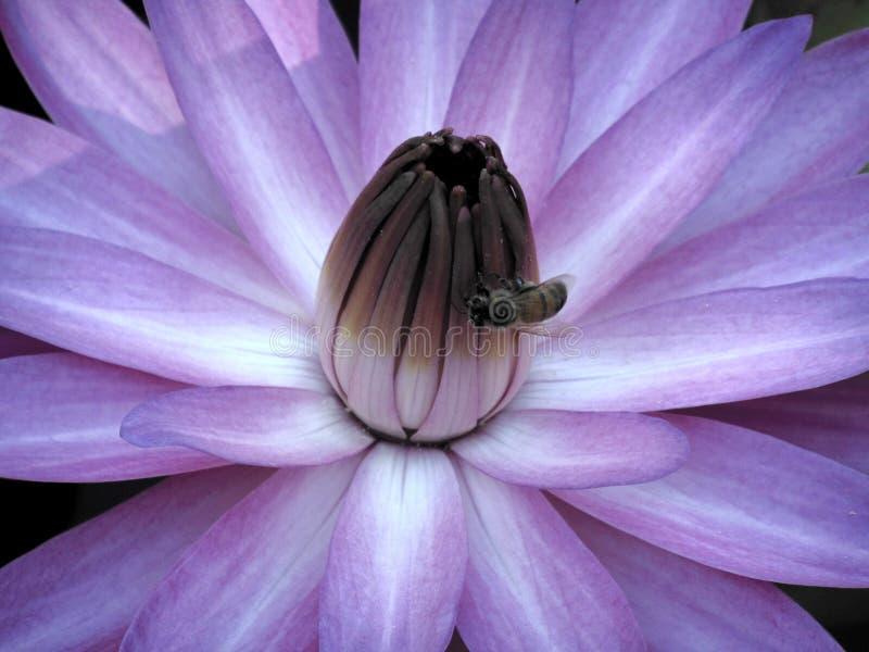 Цветок и пчела лотоса стоковое фото