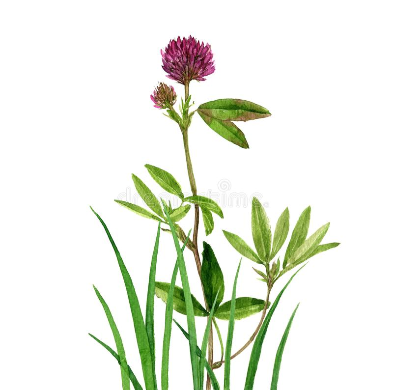 Цветок и трава клевера чертежа акварели бесплатная иллюстрация