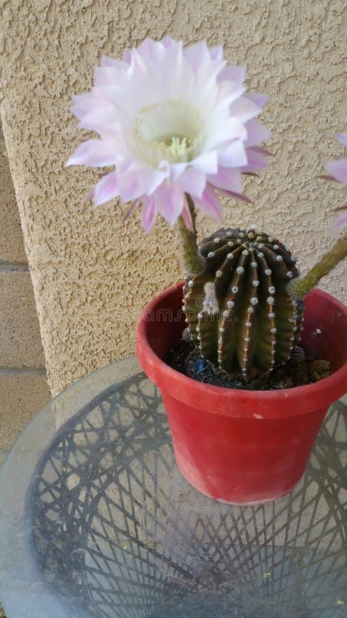 Цветок кактуса зацветая один раз в год стоковые изображения rf
