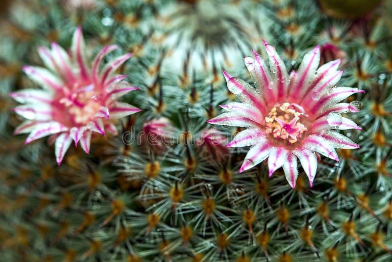 Цветок кактуса маммиллярии с росой стоковые фото