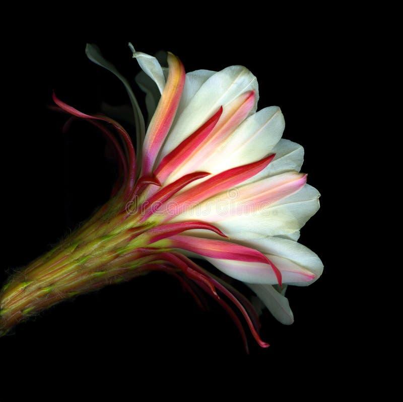 цветок кактуса цветеня стоковая фотография rf