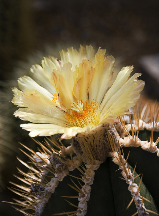 цветок кактуса стоковая фотография rf