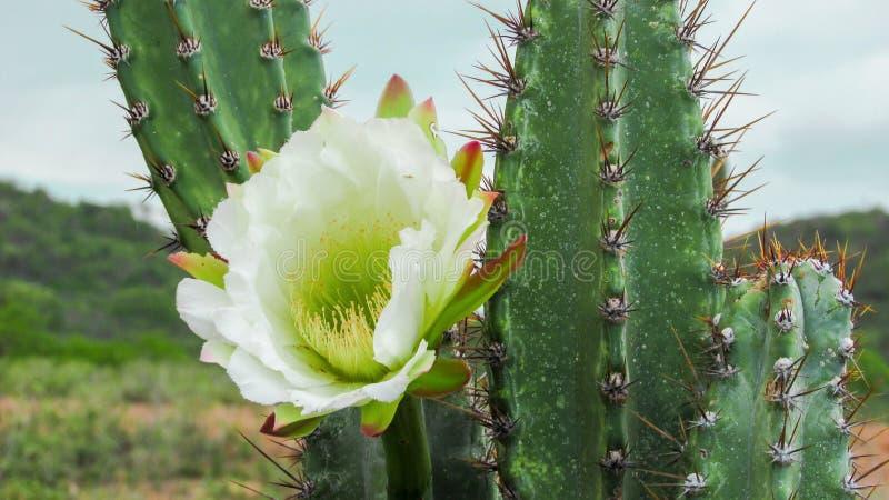 Цветок кактуса Mandacaru стоковое фото rf