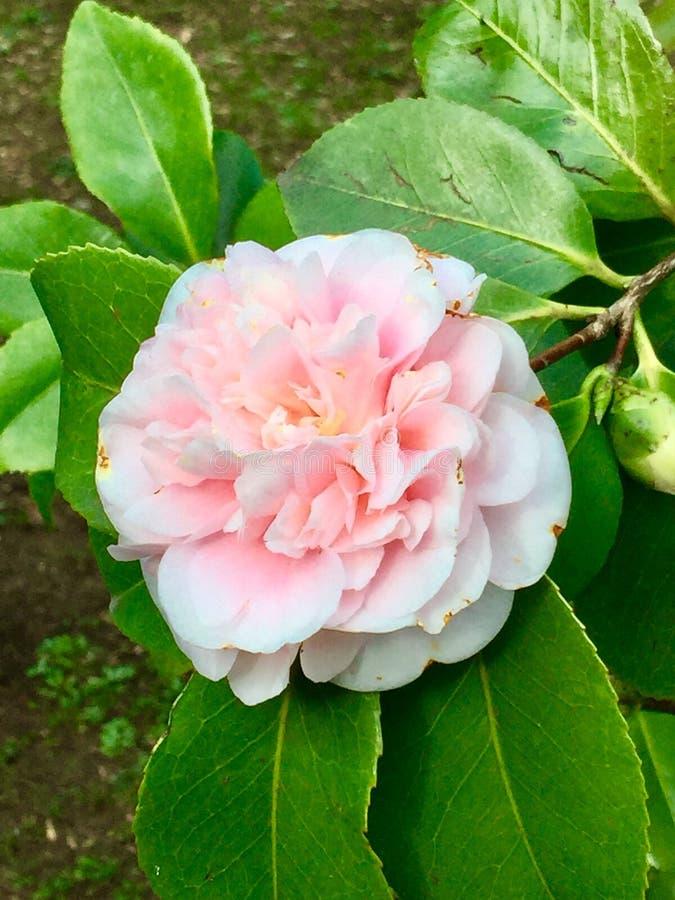 Цветок камелии стоковые фотографии rf