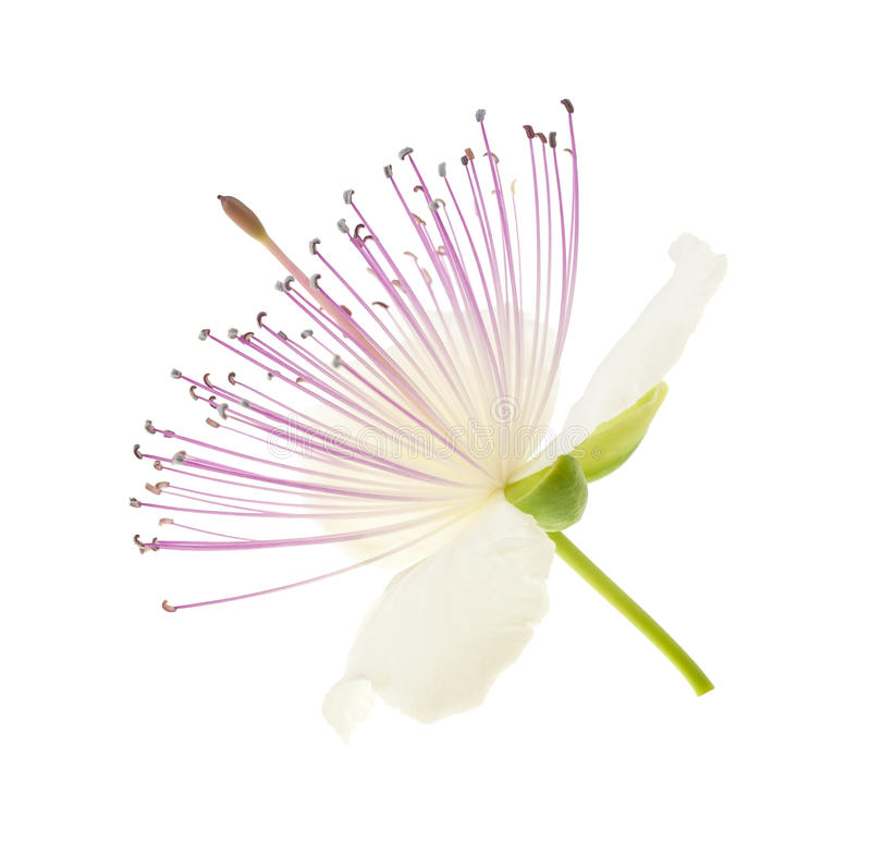 Цветок каперсов стоковая фотография rf