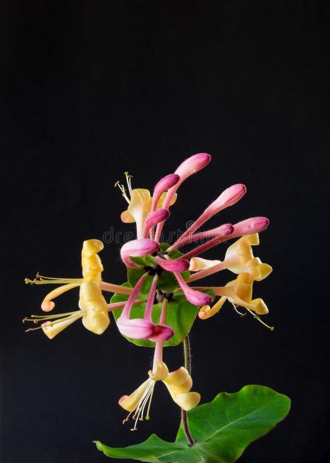 Цветок каприфолия стоковое фото rf
