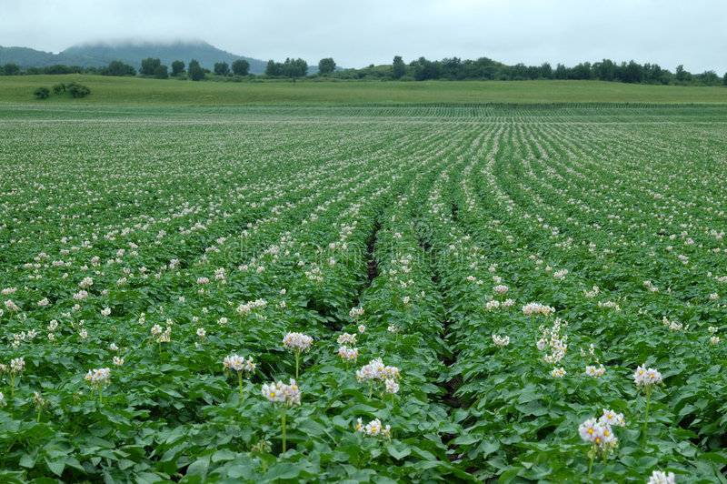 Цветок картошки стоковое фото