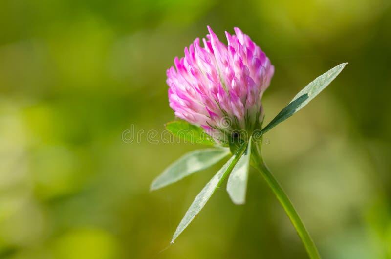 цветок клеверов стоковые фотографии rf