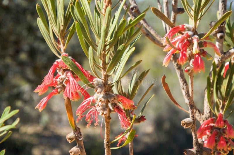 Цветок когтя: Национальный парк Kalbarri стоковые изображения