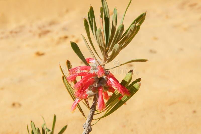 Цветок когтя Murchison: Kalbarri Bushland стоковое фото