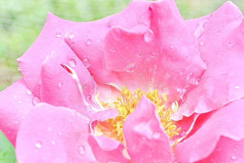 Download Цветок конца-вверх розовый стоковое изображение. изображение насчитывающей праздник - 40586229
