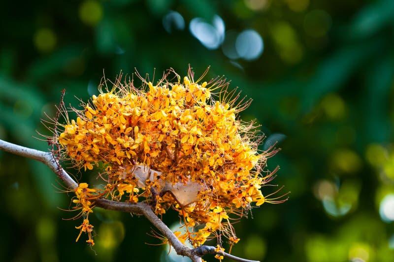 Цветок дерева Asoka стоковая фотография rf