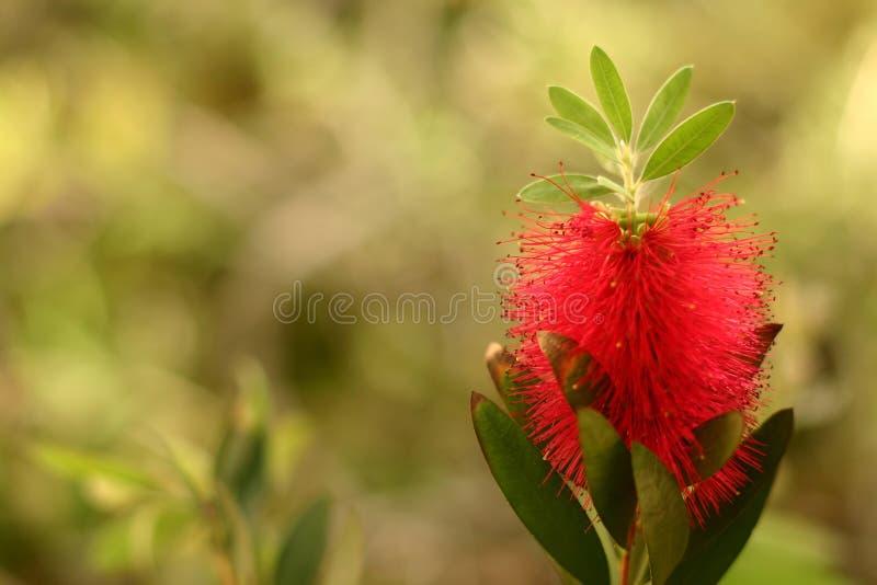 цветок корсиканца крупного плана стоковая фотография rf