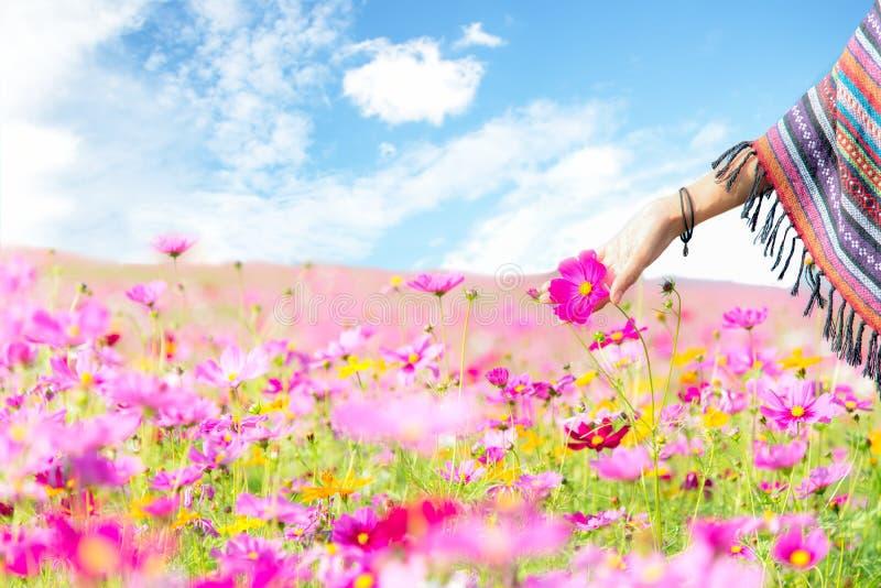 Цветок космоса касания руки женщин путешественника азиатский, свобода и ослабляет в ферме цветка, стоковая фотография