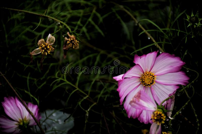 Цветок космоса крупного плана розовый в саде и черной предпосылке стоковая фотография