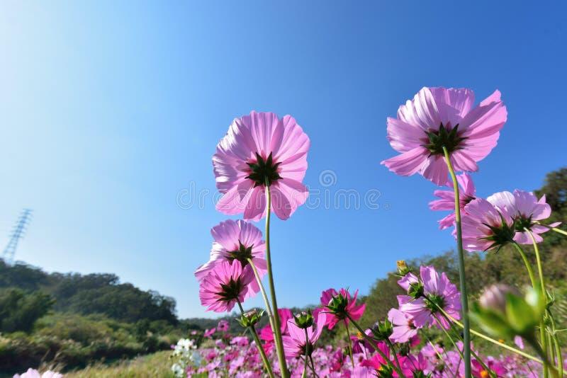 Цветок космоса стоковое фото rf