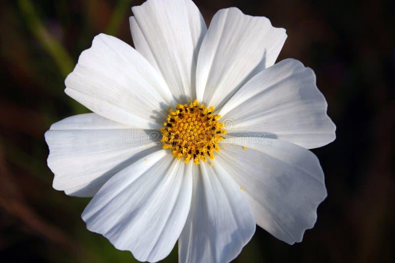 цветок космоса стоковое изображение rf