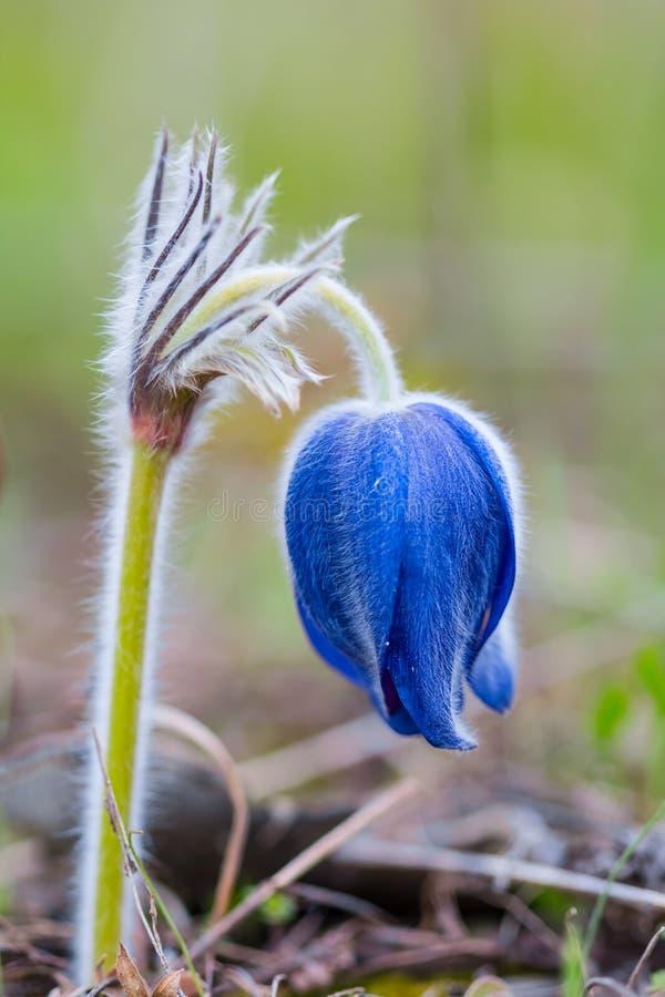 Цветок колокола крупного плана весны стоковая фотография rf
