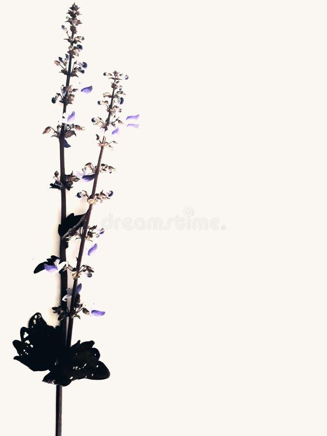 Цветок, красивая, белая предпосылка, обои, пурпурный цветок, цветок с л стоковые изображения rf
