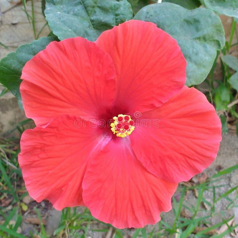 Цветок красного цвета Гаваи стоковое изображение rf
