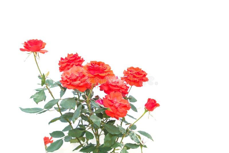 Цветок красной розы на ветви и лист изолированных на белизне стоковая фотография rf