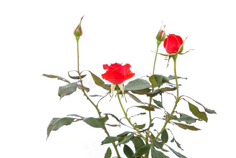 Цветок красной розы на ветви и лист изолированных на белизне стоковые изображения
